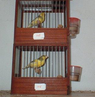 Preparación de los canarios de canto para los concursos